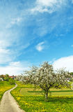 Blooming fruit tree with village Royalty Free Stock Image