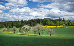 Blooming fruit trees in a meadow Stock Image