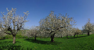 Blooming Fruit Trees Panorama Stock Image
