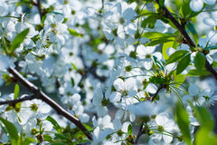 Blooming fruit trees. Stock Photography
