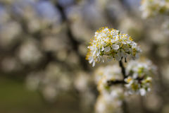 Blooming fruit trees in spring garden Stock Images