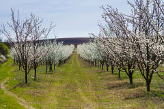 Blooming fruit trees in spring garden Royalty Free Stock Images