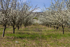 Blooming fruit trees in spring garden Royalty Free Stock Photo