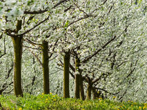 Blooming fruit trees in spring Royalty Free Stock Photo