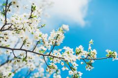 Blooming fruit trees with white flowers in spring garden. Spring time. Blooming fruit trees with white flowers in spring garden Stock Photos