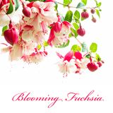 Blooming fuchsia. Gorgeous blooming fuchsia isolated on a white background royalty free stock images