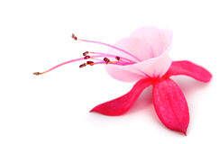 Blooming fuchsia. (fuschia hybrida), isolated on a white background Royalty Free Stock Images
