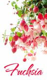 Blooming fuchsia Stock Photography