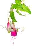 Blooming fuchsia branch isolated on white background Stock Photo