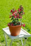 Blooming fuchsia in flowerpot in garden on a summer sunny day.  stock image
