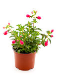 Blooming fuchsia Royalty Free Stock Photography