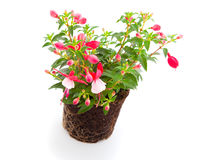 Blooming fuchsia Stock Photos