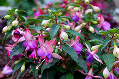 Blooming Fuchsia lat. Fuchsia Royalty Free Stock Photo