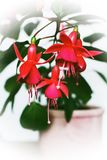 Blooming fuchsia in a pot on a white background. Beautiful indoor decorative bright red flower with dense green leaves. It blooms in the summer very abundantly royalty free stock photos