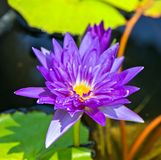 Blooming fuchsia Violet water lily lotus flowers in the pool pond. Visakha Bucha Day. Buddha's birth lotus flower meditation relax concept Vesak day royalty free stock photo