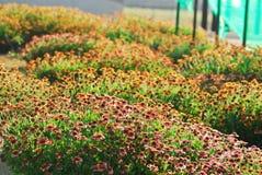 Blooming Gaillardia Royalty Free Stock Photography