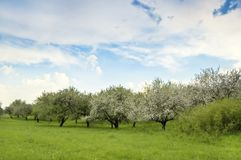 Blooming garden. Blooming apple garden in the photo Stock Photos