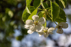Blooming Garden. Branches, flowers and foliage fruit trees in early spring Stock Image