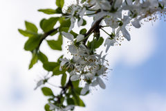 Blooming Garden. Branches, flowers and foliage fruit trees in early spring Stock Photos