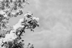 Blooming garden. Close-up flowers on tree against sky. Spring concept, copyspace for text. Ð'lack and white photography. Blooming garden. Closeup flowers on royalty free stock photography