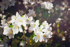 Blooming garden. Close-up flowers on tree. Spring concept. Soft focus stock photography