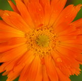 Blooming garden marigold. Detail of blooming garden marigold (Calendula officinalis) plant. It is commonly used as medicinal plant stock image