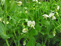 Blooming garden pea. Blooming  pea in the vegetable garden Royalty Free Stock Photography