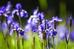 Blooming in the garden of purple spring flowers.  Stock Photos