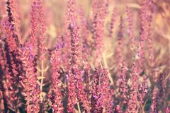 Blooming garden sage (common sage, culinary sage), Salvia officinalis. Field of fresh purple flowers. Pink summer meadow sage. Background royalty free stock image