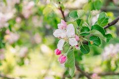 Blooming garden in spring sunny day, flowers of apple tree royalty free stock photos