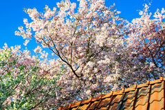 Blooming garden trees over a roof top. Blooming cherry and plum trees are leaning over slates of a house roof Stock Images