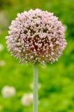 Blooming Garlic Royalty Free Stock Image