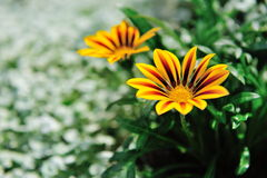 Blooming gazania flowers Stock Photo