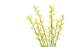 Blooming Genista flowers, isolated on white Royalty Free Stock Images