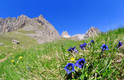 Blooming gentians on mountain meadow Royalty Free Stock Photo