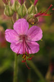Blooming geranium close-up Royalty Free Stock Photos