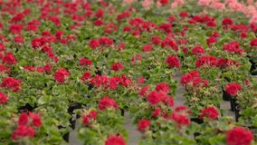 Blooming geranium in a large modern greenhouse. Geranium blooms close-up. Blooming geraniums in pots. A lot of blooming stock footage