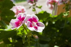 Blooming geranium. Beautiful blooming geranium Pelargonium zonale stock photos
