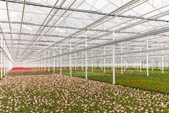 Blooming geranium plants in a greenhouse Stock Images