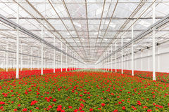 Blooming geranium plants in a greenhouse Royalty Free Stock Photography