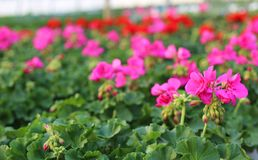 Blooming geranium plants for sale in the greenhouse Stock Images
