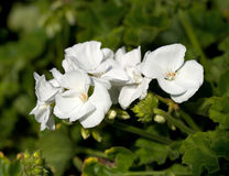 Blooming Geraniums Royalty Free Stock Photography