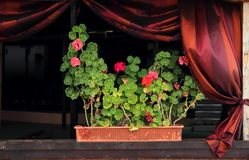 Blooming geraniums in window Royalty Free Stock Photography