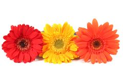 Blooming gerbera flowers Royalty Free Stock Images