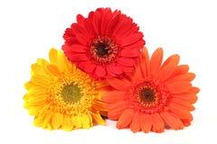 Blooming gerbera flowers royalty free stock photo