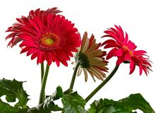 Blooming gerbera isolated white background. Blooming gerbera isolated on white background Royalty Free Stock Images