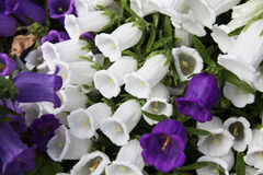 Blooming giant bell blue and white Royalty Free Stock Images