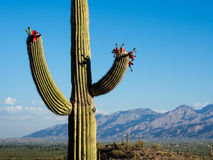 Blooming giant cactus at sunrise Stock Images