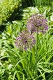 Blooming giant onion flowers (Allium Giganteum) Royalty Free Stock Photo