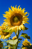 Blooming Giant Yellow Sunflowers Stock Image